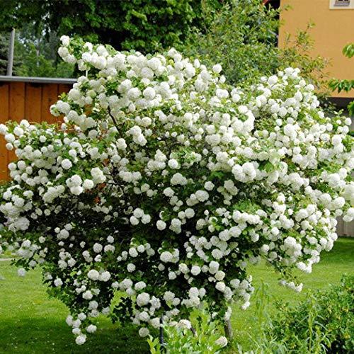 Qulista Samenhaus - 20pcs Selten China Rispenhortensie Grandiflora Bauernhortensie Blumensamen Mischung winterhart mehrjährig für Kübel/Terrasse/Balkon