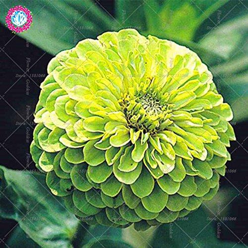Véritable Zinnia elegans 50pcs Véritable fleur Bonsai Graines vivaces Facile Pour Cultivating balcon plantiation Garden Courtyard Potted 4