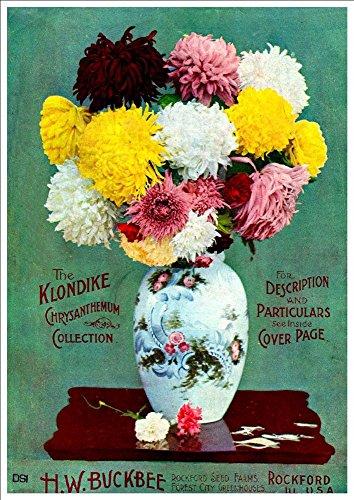 hw-buckbee-the-klondike-chrysanthemum-collection-c1890s-a4-glossy-art-print-taken-from-a-beautifully