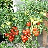 10 Samen Alaska Tomate – sehr kältetolerant, sehr schmackhaft