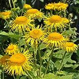 Alant - Inula helenium - Zier- / Arzneipflanze - 200 Samen