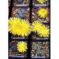 Tropica Lot de 50 graines de plantes cailloux (Lithops dorotheae)