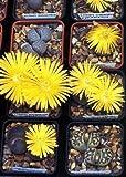 Tropica - Sukkulenten - Lebende Steine (Lithops dorotheae) - 50 Samen