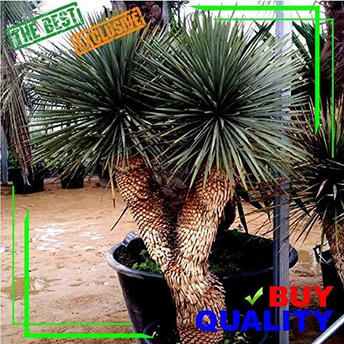 Portal Cool Grün: Yucca Rostrata Exotische blaue Farbe Joshua Tree Hardy Wüste Caudex Cacti Clant Kunst