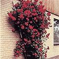 Kletterrose Pauls Scarlet von Meingartenshop auf Du und dein Garten