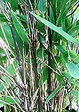 Schwarzer Bambus - Fargesia nitida Black Pearl, winterhart und schnell-wachsend, 70-90 cm hoch