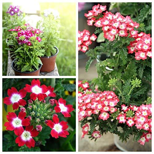 Verbena - Semillas de 3 semillas de plantas con flores. - 3 paquetes de semillas
