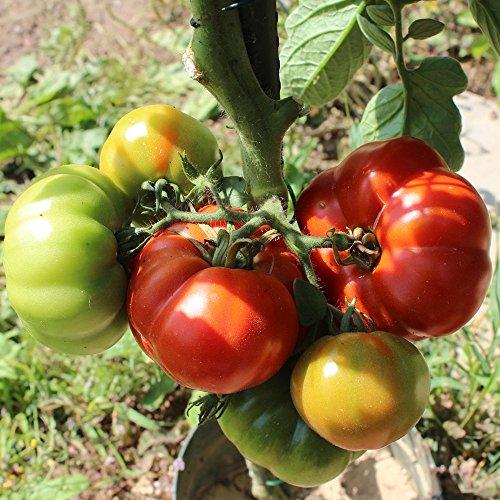10 Samen Marmande Tomate - französische frühe Fleischtomate