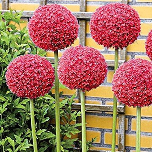 Cioler 30 Blumensamen Riesen Zierlauch Allium giganteum winterharte Zierpflanze für den Garten - mehrjährig