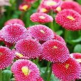 FOReverweihuajz 30Pcs Daisy Samen Bodendecker Chrysantheme mehrjährige Blume Bonsai Pflanzen Garten Gartendekoration