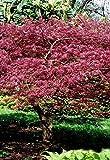 Palmenmann Roter Fächerahorn (Atropurpureum) - Acer palmatum Atropurpureum