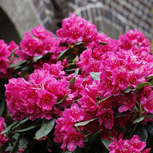 rhododendron-2-liter-violett-3-pflanzen-polarnacht