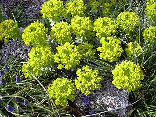 Walzen Wolfsmilch Euphorbia myrsinites 20 Samen (Wolfsmilch Samen)