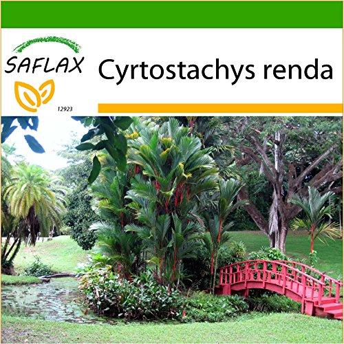 SAFLAX - Palmier à tronc rouge - 10 graines - Avec substrat - Cyrtostachys renda