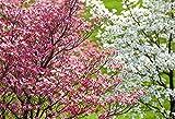 Roter Blumen-Hartriegel,Blütenhartriegel, Red Dogwood 10 Samen (Cornus Florida)