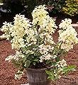 Rispenhortensie Wims Red 40-60cm - Hydrangea paniculata von Baumschule - Du und dein Garten