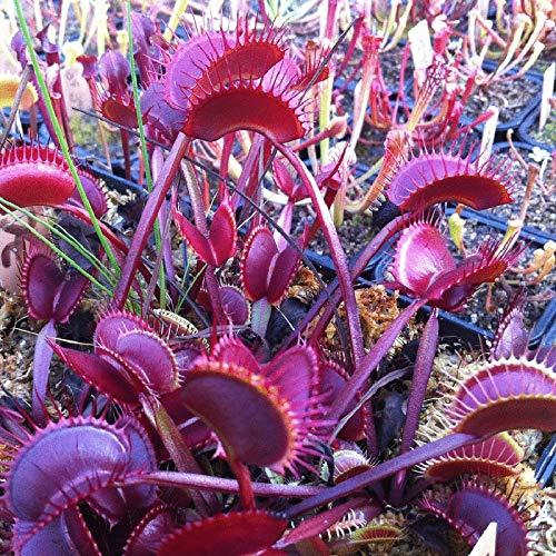 Shopmeeko Bonsai 100pcsseeds / pack Roter Drache Fliegenfalle Gras Bonsai Topf Dionaea Muscipula Pflanze Terrasse Garten Fleischfressende Pflanze