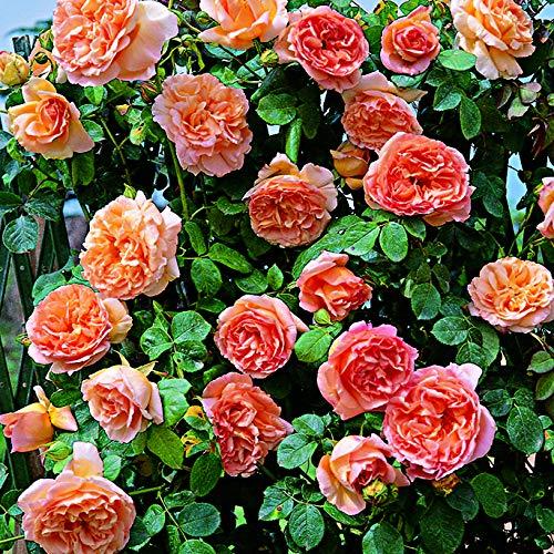 Papi delbard®, rosa rampicante in vaso di rose barni®, pianta di rosa rampicante rifiorente a grandi fiori, h. raggiunta fino a 5 metri, resistente alle malattie e profumata, cod. 16070