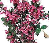 Dehner Weigelie Victoria, dunkelrosa-farbene Blüten, ca. 40-60 cm, Zierstrauch