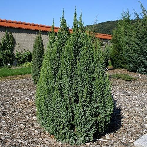 Wacholder Loderi 100-125cm – Juniperus squamata