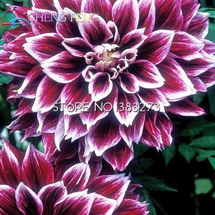 Galleria fotografica 100 pc Semi di tipo ordinale giapponesi Dahlia Bulbi Semi Bonsai fiori delle piante da giardino Bella perenne fiore Bonsai economico Pot