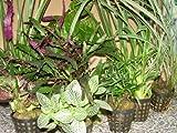 Mühlan - 8 Töpfe Regenwaldmix für Regenwald Terrarium, Paludarium, Sumpfterrarium