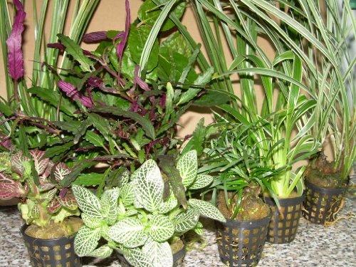 Mühlan - 8 Töpfe Regenwaldmix für Regenwald Terrarium, Paludarium, Sumpfterrarium (Regenwald Pflanzen)