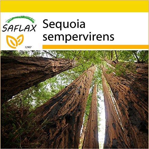 SAFLAX - Anzucht Set - Küsten - Mammutbaum - 50 Samen - Sequoia sempervirens