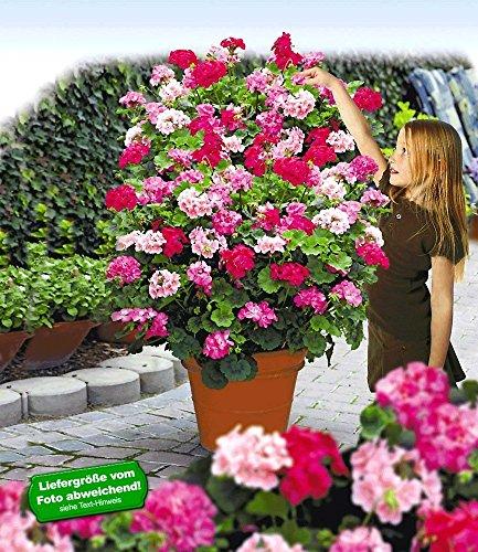 """BALDUR-Garten Kletter-Geranien PAC® """"Antik-Serie®"""" Farb-Mix,3 Pflanzen Pelargonium peltatum Mischung"""