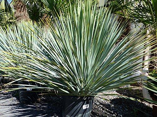 Yucca Rostrata XXXL blaublättrig Palme 120 cm Kugel kugelrund, extra winterhart
