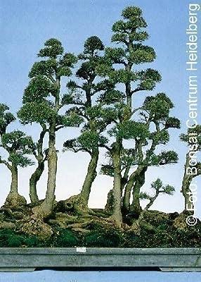 Tropica - Bonsai - Australische Kiefer (Casuarina equisetifolia) - 200 Samen von Tropica bei Du und dein Garten