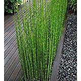 PLAT FIRM GERMINATIONSAMEN: 60 + pcs Schachtelhalm Reed Teichpflanzen bus Samen/Reed