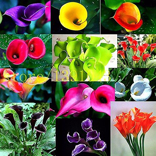 Nuovo calla semi del giglio di 100 pezzi rari semi di fiori per la casa giardino impianto non calla mix lampadine giglio