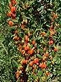 Goji-Beere, 1 Pflanze von Amazon.de Pflanzenservice auf Du und dein Garten