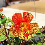 Tiger Monkey Flower (gemischt) Samen - Mimulus Tigrinus - 2500 samen