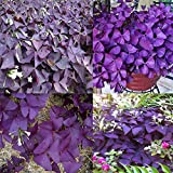 Go Garden Rose, Rot, Schwarz, Weiß, 10 Stück mehrjährige Kleeblatt- Oxalis Triangularis Blumenzwiebeln, Blattblumen, heiße Pflanzen, 50 Stück