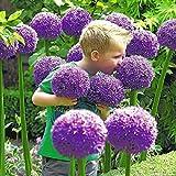 20 semillas gigante Allium Globemaster Allium Giganteum ~ de la flor de plantas hortícolas