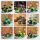 Delaman Seerose Hydrokulturpflanzen Wasserpflanzen Blumensamen Topf für Hausgarten Decor 10 stücke