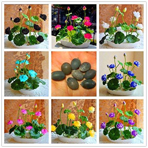 Delaman Water Lily Hydroponique Plantes Aquatiques Plantes Graines De Fleurs Pot pour Maison Jardin Décor 10 pcs