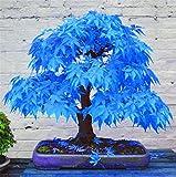 Mpale Baumsamen 30 PC / Satz Maple Samen Bonsai Blau Ahorn Japanischer Ahorn...