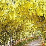 10 Stück Glyzinie-Baum-Samen Blütenmeer Winterhart mehrjährig