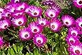 Eiskraut Mesembryanthemum crystallinum 150 Samen von Dixis Samen - Du und dein Garten
