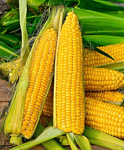 mymotto Gemüsesamen - 30pcs Bio Zuckermais Samen,köstlicher, besonders süßer Mais Samen winterhart seltene Gemüsesamen Pflanzensamen