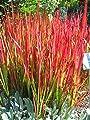 Japanische Blutgras, Imperata cylindrica var.koenig.'Red Baron' im 9cm Topf von Bamberger Staudengarten auf Du und dein Garten