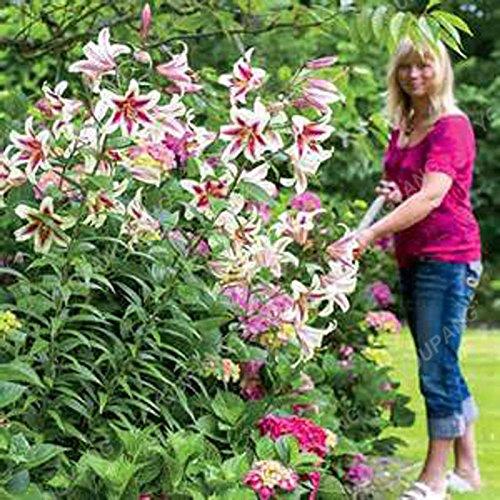 Promotion!! 100 pcs / sac géant Lily Graines pas cher Lily Graines de fleurs Barbade Lily en pot Graine Bonsai Balcon Fleur Livraison gratuite Noir