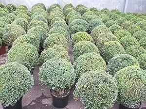 Buchsbaum Kugel Ø 38 -40 cm Buxus sempervirens ungleichmäßig/lücken