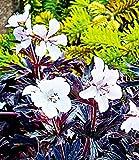 BALDUR-Garten Geranium