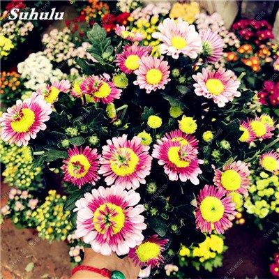 Schlussverkauf! 50 PC Daisy Blumensamen Ice Cream Parfüm Topf Chrysantheme-Blumen-Haus-Garten-Dekoration Bonsai Blumensamen 9 -