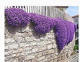 Snner 250 graines Aubrieta - Cascade graines de Fleurs Violettes, vivaces...