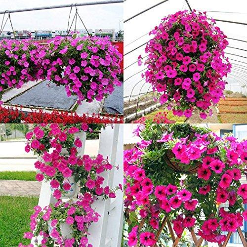 Lonlier 50 pcs Pétunia Graines Matin Gloire Pendaison Maison Jardin Plante Pot De Fleurs Décor